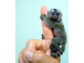 Finger Baby Marmoset Monkeys for Adoption.